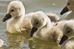 behandla som ett barn swans arkivbilder