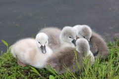 behandla som ett barn swans Fotografering för Bildbyråer