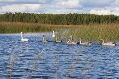 behandla som ett barn swans för swanen för familjkvinnlign male Royaltyfri Fotografi