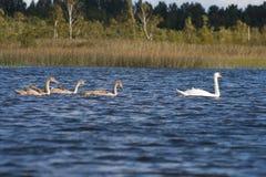 behandla som ett barn swans för swanen för familjkvinnlign male Royaltyfria Foton