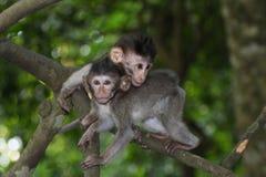 behandla som ett barn tailed långa macaques Royaltyfri Foto