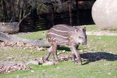 behandla som ett barn tapiren Royaltyfria Foton