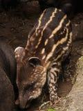 Behandla som ett barn tapiren Arkivbild