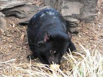 behandla som ett barn tasmanian jäkel Arkivfoton