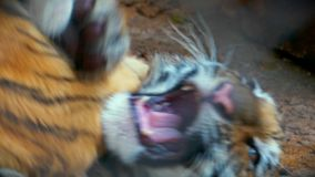 Behandla som ett barn Tiger Kittens Playing i Merida Mexico Zoo lager videofilmer