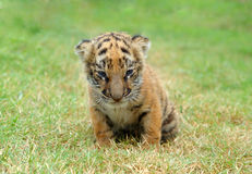 behandla som ett barn tigern Arkivbild