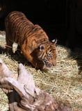 Behandla som ett barn tigern Arkivbilder