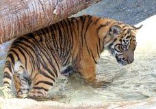 Behandla som ett barn tigern Arkivfoto