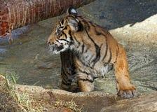Behandla som ett barn tigern Fotografering för Bildbyråer