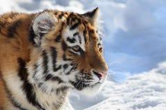 behandla som ett barn tigern Royaltyfri Fotografi
