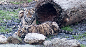 Behandla som ett barn tigern Royaltyfria Bilder