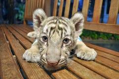 behandla som ett barn tigerwhite Arkivfoton