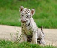 behandla som ett barn tigerwhite arkivbild