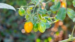 Behandla som ett barn tomaten eller den körsbärsröda tomaten Fotografering för Bildbyråer