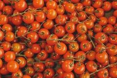 Behandla som ett barn tomater Fotografering för Bildbyråer