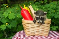 Behandla som ett barn tvättbjörnen i en picknickkorg Fotografering för Bildbyråer