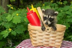 Behandla som ett barn tvättbjörnen i en picknickkorg Arkivbilder