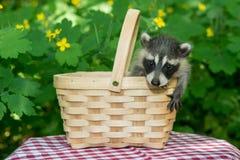 Behandla som ett barn tvättbjörnen i picknickkorg Arkivbilder