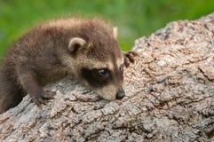 Behandla som ett barn tvättbjörnen (Procyonlotor) klättrar upp journalen Royaltyfri Fotografi