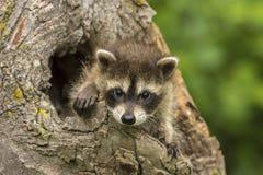 Behandla som ett barn tvättbjörnen som kikar ut ur ett hål i ett träd Fotografering för Bildbyråer
