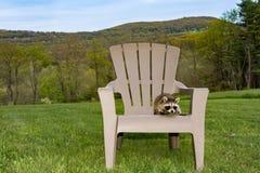 Behandla som ett barn tvättbjörnen som spelar på Adirondack stol Royaltyfria Bilder
