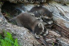 Behandla som ett barn tvättbjörnseriekrock (Procyonlotoren) Arkivfoton