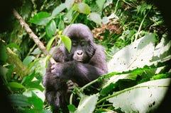 Behandla som ett barn ugandanberggorillan Royaltyfri Fotografi