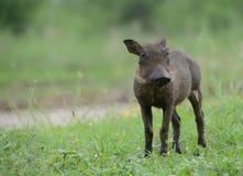Behandla som ett barn vårtsvinet i Kruger parkerar Arkivbilder