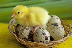 Behandla som ett barn vakteln som sitter på ägg i en korg Påsk begreppet av födelsen av ett nytt liv arkivbild