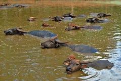 Behandla som ett barn vattenbuffeln som kopplar av i floden Royaltyfria Foton