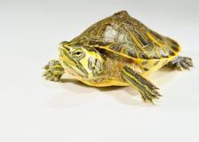 Behandla som ett barn vattensköldpaddan Royaltyfria Foton