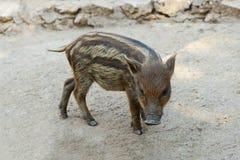 Behandla som ett barn vildsvinet som går på jordningen royaltyfri foto