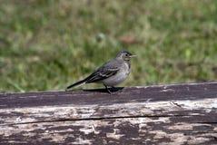 behandla som ett barn wagtailen för fågel s Fotografering för Bildbyråer