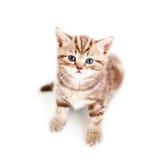 behandla som ett barn white för den övre sikten för kattungen skotsk Arkivfoto