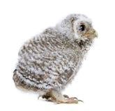 behandla som ett barn white för den små owlen för bakgrund främre Arkivfoto