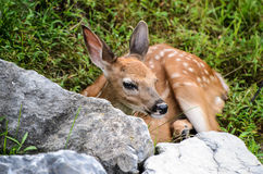 Behandla som ett barn Whitetailhjortar Fawn Watching From Behind Boulder Royaltyfri Bild