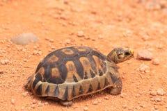 behandla som ett barn wild liten turtoise för leoparden arkivfoton