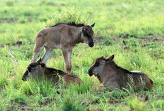 behandla som ett barn wildebeesten arkivbilder