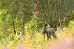 Behandla som ett barn wolverine i natur Royaltyfria Foton