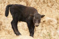 Behandla som ett barn yak i Damthang Royaltyfri Fotografi