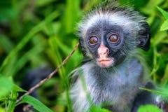 Behandla som ett barn Zanzibar den röda colobusen eller den Procolobus kirkiien Royaltyfria Foton