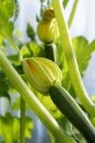 Behandla som ett barn zucchinier med unga blommor Arkivfoto