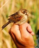 Weibliche Reedflagge in der Ornithologisthand Stockbilder