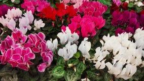 Behang van de kleurrijke bloemen van Cyclaampersicum Stock Foto
