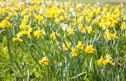 Behang van gele bloemen Stock Fotografie