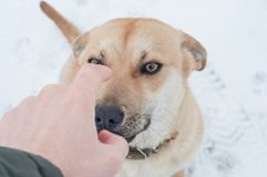 Behavior of a dog in the winter on the street, disobedience to the owner stock photo
