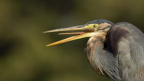 Purple heron with beaks open. Behavior of herons to keep their beaks open and break occasionally royalty free stock photography
