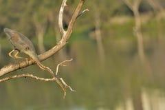 Stick neck out - Purple heron or Ardea purpurea royalty free stock photos