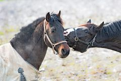 Horse emotion, horse kiss in spring royalty free stock photos