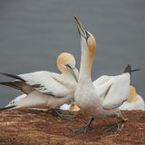 Behavior of wild migrating gannets at island Helgoland, Germany, Royalty Free Stock Image